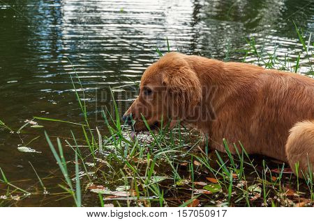 Dog Hunting In River. Dog Cooling Off In River Water.