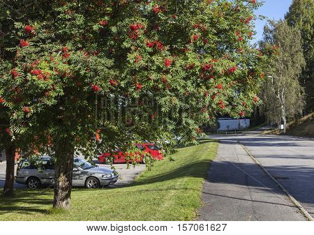Rowan tree, red berries in urban area. Street and car park to the left. Summer and sunshine.