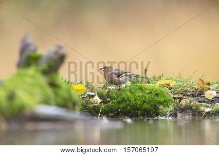 Female Chaffinch Perching On Moss Near Pond.