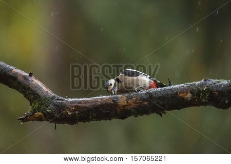Great Spotted Woodpecker (dendrocopos Major) Feeding On A Branch In The Rain