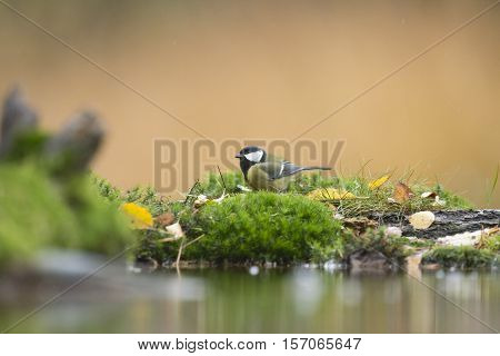Great Tit (parus Major) Perching In The Rain On Moss Near Pond.