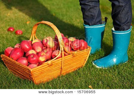 Autumn concept. Apples in basket and blue rain boots.