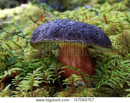 Edible Zeller's Bolete mushroom (Xerocomellus zelleri) growing in moss