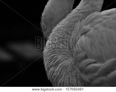 Beautiful bird, black and white bird, bird with a hooked beak beautiful bird on the water. Flamingo.
