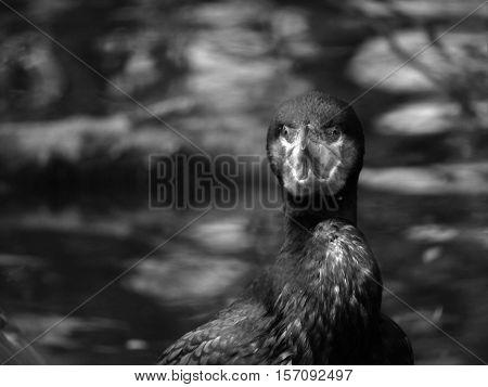 Beautiful bird, black bird, a bird with a hooked beak beautiful bird on the water.