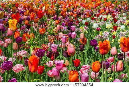 Glade of red, pink, orange and white fresh tulips. Spring landscape. Colorful tulips in the Keukenhof garden, Netherlands. Tulip background. Beautiful bouquet of tulips.