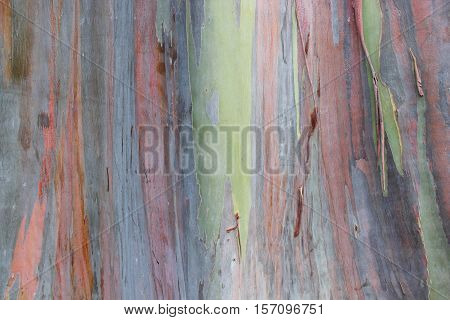 Multicolored exotic Rainbow Eucalyptus tree bark unique texture background