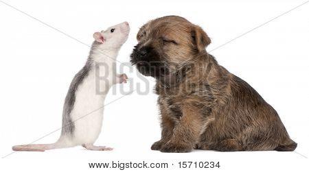 Cairn Terrier Puppy, 6 semanas de edad y una rata frente fondo blanco