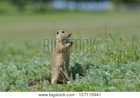 Cute European ground squirrel gopher (Spermophilus citellus Ziesel) sitting on a field