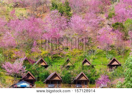 Cherry Blossom and sakura at Doi Ang Khang in Chiang Mai , Thailand