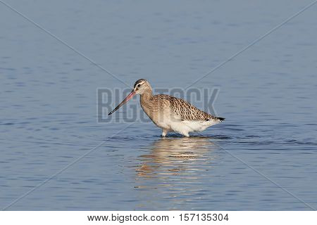 Bar-tailed godwit looking for food in water in its natural habitat