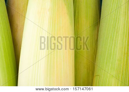 deliciouse ear of  sweet corn on cobs kernels or grains of ripe corn on white background  corn vegetable isolated