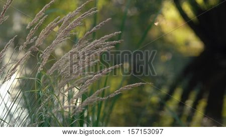 Plant With Fluffy Ear Moved With The Light Wind With Lake Reflecting Trees On Background Calm Close Up Day Footage