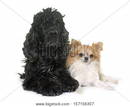black american cocker and chihuahua in front of white background