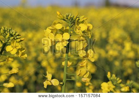 Blooming canola field. Yellow rapeseed flower on field