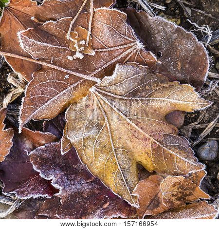 Detail Of Leaves With Hoar Frost
