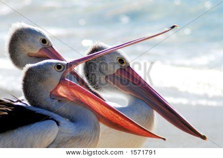3  Pelican Portraits