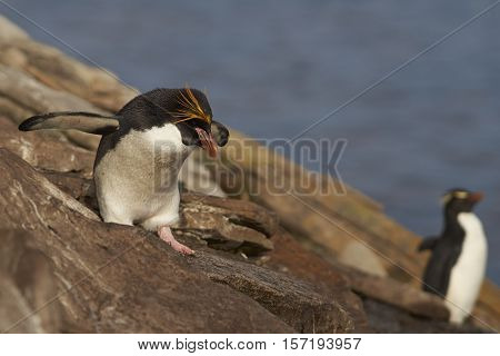 Lone Macaroni Penguin (Eudyptes chrysolophus) amongst a large group of Rockhopper Penguins (Eudyptes chrysocome) on a cliff leading to the sea on Saunders Island on the Falkland Islands.