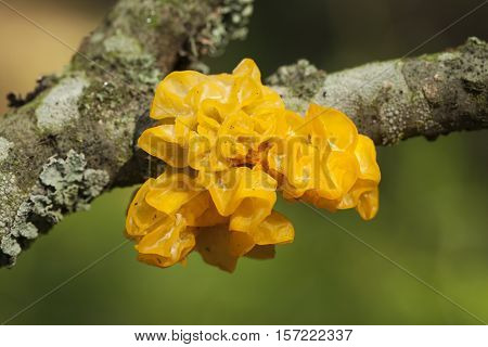 fungi with yellowish gelatinous sporophores on branch