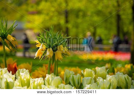 Crown imperial yellow flower in a bed of white tulips. In the background to blur the tourists walk in the park Keukenhof, Holland, Netherlands. Detail of yellow crown imperial lily.