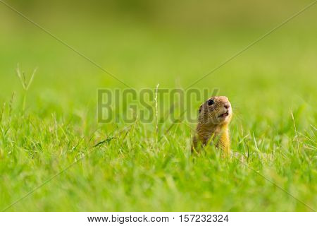 Ground Squirrel Standing on Meadow and Looking into The Distance