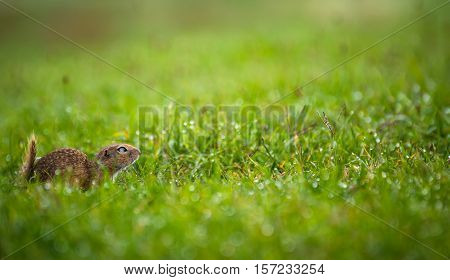 Ground Squirrel on a Short Grassy Meadow Ready to Jump