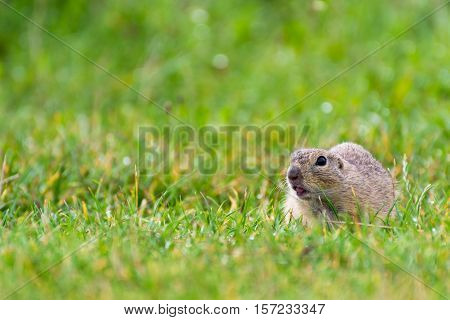 European Ground Squirrel on Field with Sticking Tongue