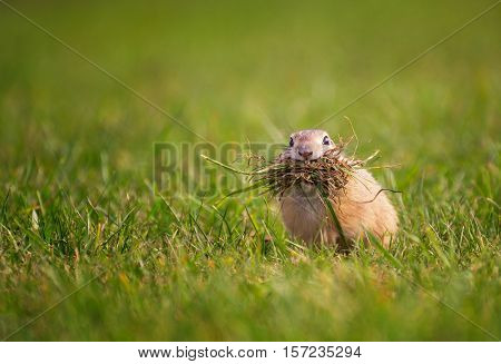 Funny Ground Squirrel with Mouth Full of Grass on The Field