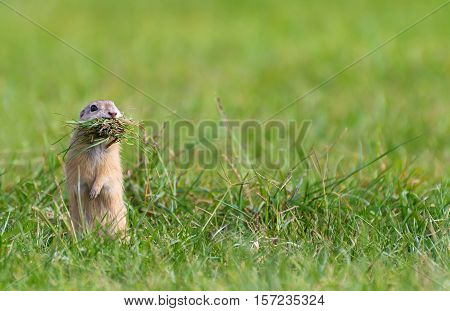 Ground Squirrel Standing with Mouth Full of Grass. Left Side of  The Picture.