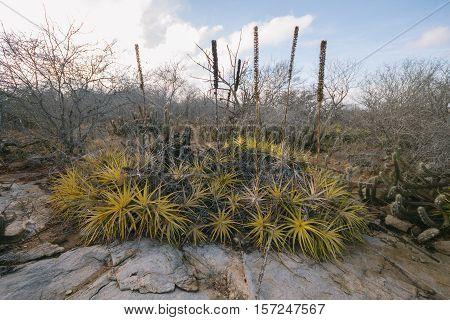Cacti -