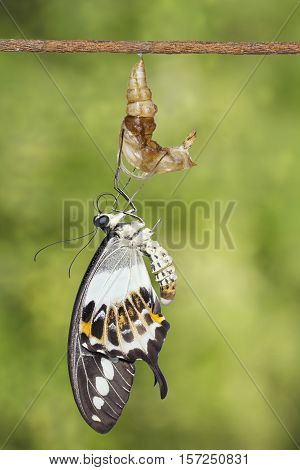 Banded Swallowtail Butterfly (papilio Demolion) Emerging From Chrysalis