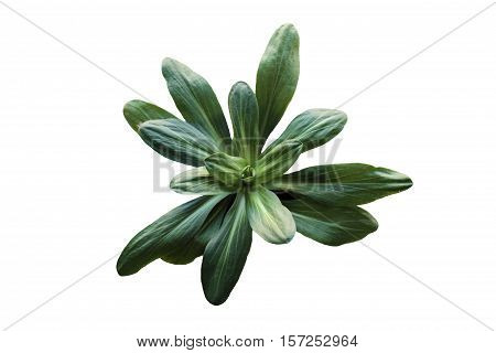 Isolated leafy green salad plant or herb