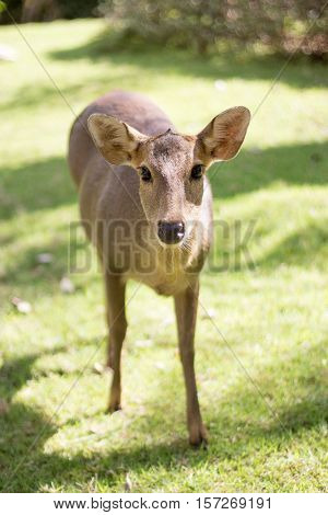 Potrait Female Deer Watching Camera On Park