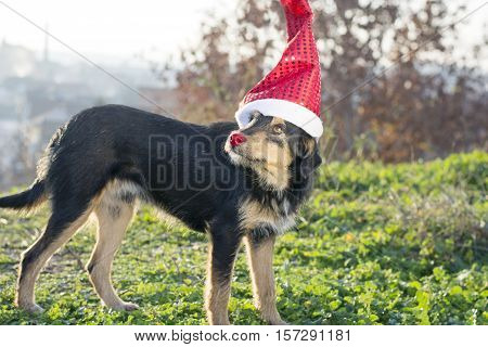 Cute mix breed dog with Santa Claus hat on the field outdoors