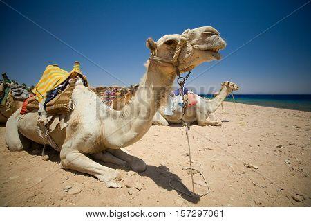 Camel resting. Dahab Blue Hole area, Egypt, the Red Sea.