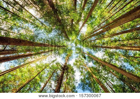 Bottom View Of Tall Trees In Evergreen Primeval Forest