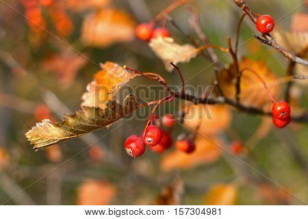 Autumn hawthorn berries on tree close up