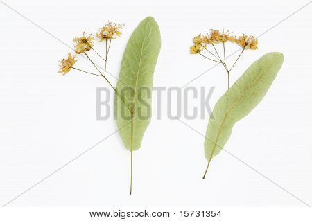 linden pressed flowers