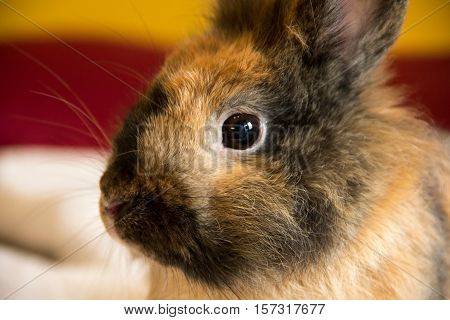 Cute brown Rabbit. Close-up bunny's eye and ears