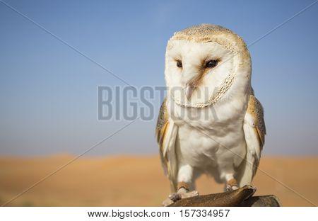 Barn Owl (Tyto alba) on a hand of a falconer in a desert near Dubai UAE