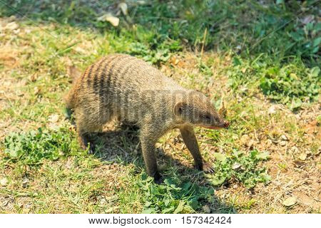 African mongoose on the meadow in Etosha National Park, Namibia, Africa.