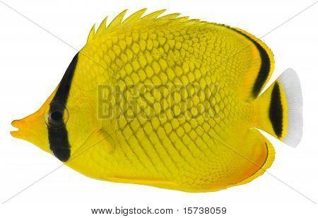 Ohrfleck Schmetterlingsfische. Chaetodon Rafflesi