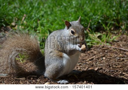 Adorable face of a squirrel eating a peanut.