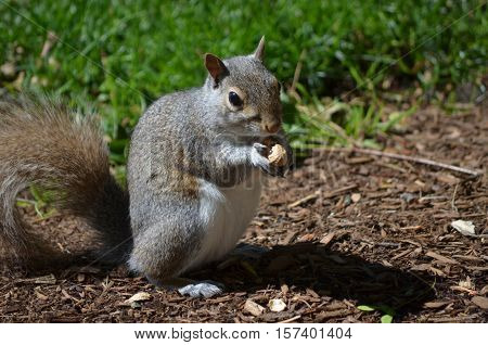 Grey squirrel cracking open a peanut and snacking
