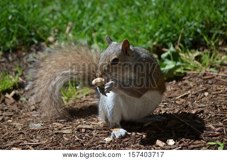 Cute grey squirrel holding a peanut in his paws.