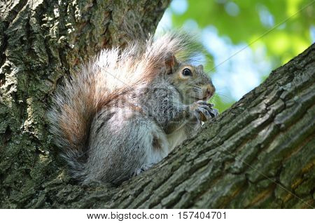 Cute gray squirrel sitting in the crook of a tree.
