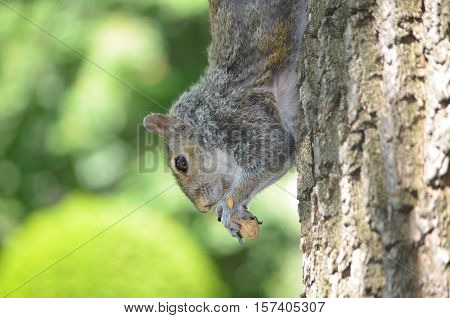 Grey squirrel climbing down a tree eating a peanut.