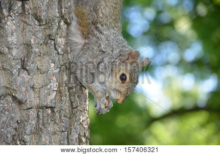 Squirrel hanging down a tree with a nut.