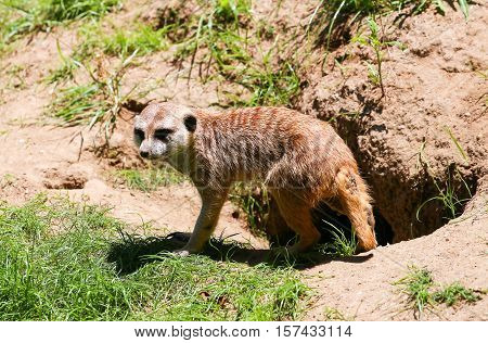 SAN DIEGO, USA - MAY 29, 2015: Baby meerkat in front of its den in the San Diego Zoo.