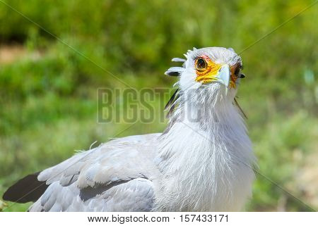SAN DIEGO, USA - MAY 29, 2015: Close-up of a secretary bird looking into the camera in the San Diego Zoo.